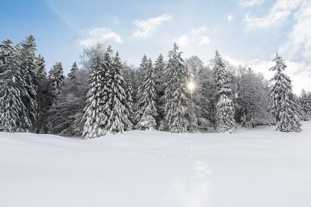 Snowed in Pine Trees Forest on a Sunny Winter Day