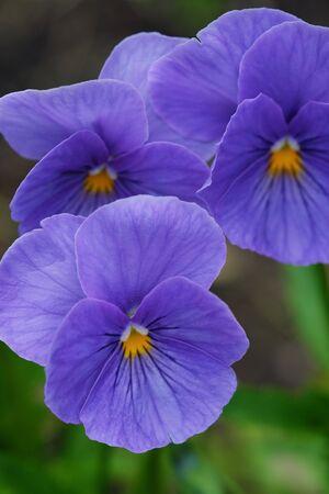 Beautiful violet in summer park