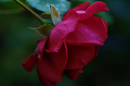 Beautiful red rose in the summer garden