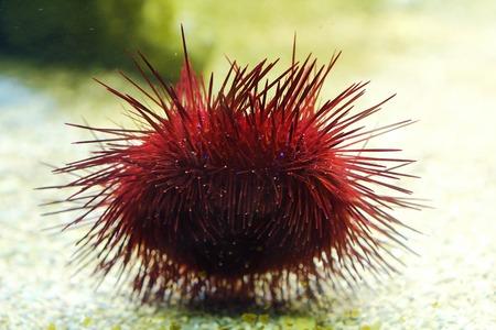 Beautiful red sea urchin in the aquarium
