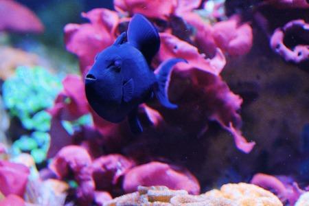 Beautiful blue fish in the aquarium view
