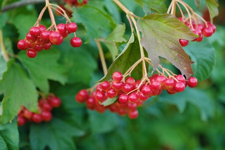 Red viburnum berries on a tree in the summer