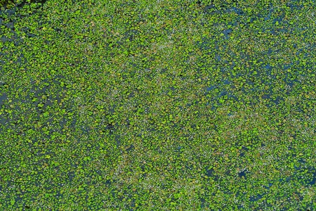 Green duckweed on a lake in the summer in a village