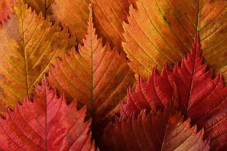 Hojas de otoño amarillas y rojas brillantes hermosas