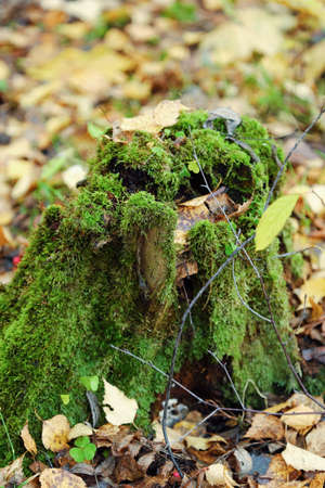 Tree stump with green moss in forest