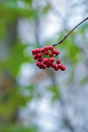 Beautiful red Rowan tree autumn in the forest Stock Photo