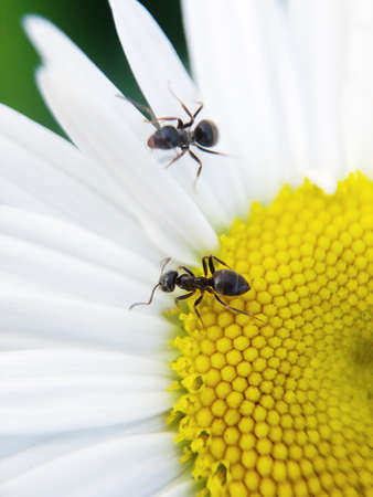 Black ant on a daisy in the summer Banco de Imagens