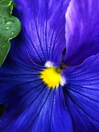 Beautiful blue violets in Prak in summer
