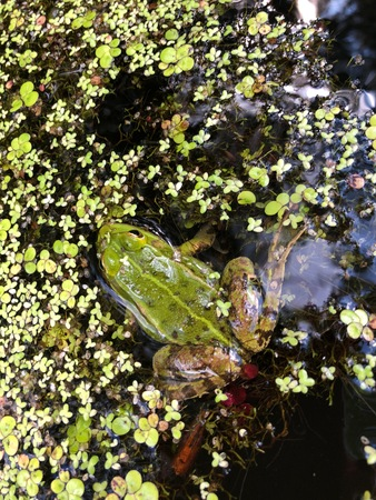 Green frog and duckweed in the lake