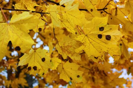Beautiful tree with yellow leaves in the Park
