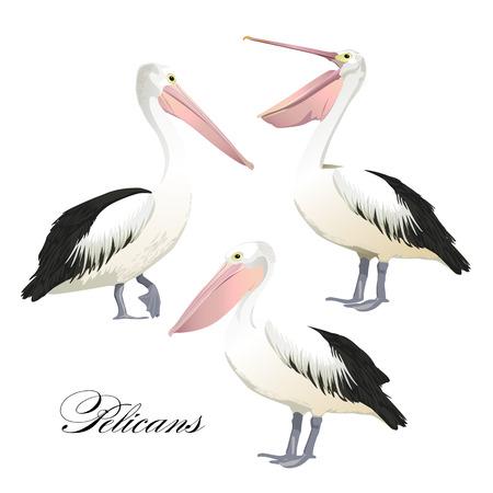 Vector met sierlijke pelikanen set