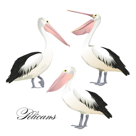 Vector with graceful pelicans set