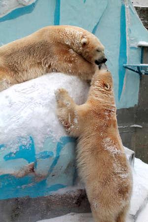 Polar bears kiss in the zoo.