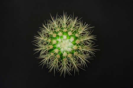 A cactus is similar to a snowflake, a top view on a black background.