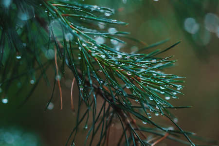A bright evergreen pine tree green needles branches