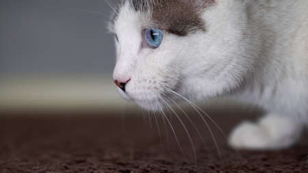 A blue-eyed beautiful domestic cat is looking at a toy in order to hunt. An adult cat connected the organs of vision, hearing and smell. 写真素材