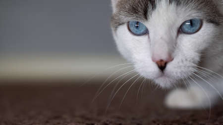 A blue-eyed beautiful domestic cat is looking at a toy in order to hunt. An adult cat connected the organs of vision, hearing and smell. 写真素材 - 144781339