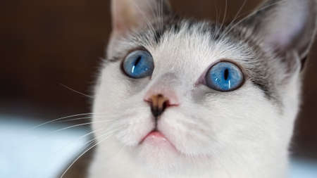 A blue-eyed beautiful domestic cat is looking at a toy in order to hunt. Adult cat is sitting on the windowsill. A healthy cat uses its sense of smell, hearing, and vision. Beige wool shimmers.