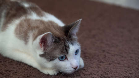 A blue-eyed beautiful domestic cat is looking at a toy in order to hunt. Adult cat lies on the carpet. A healthy cat uses its sense of smell, hearing, and vision.