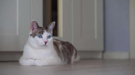 A blue-eyed beautiful domestic cat is looking at a toy in order to hunt. An adult cat lies in an apartment on the floor. A healthy, cute kitten uses its sense of smell, hearing, and vision. 写真素材 - 144781439
