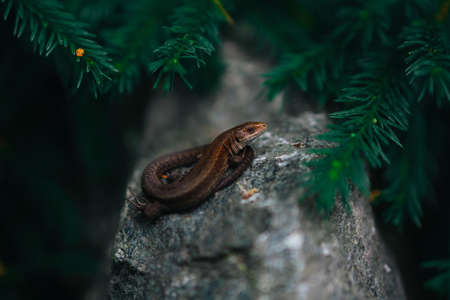 A small brown lizard sits on a stone in the bushes. Reptile poses for macro photography in the forest.