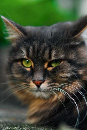A beautiful fluffy cat with green eyes looks into the camera. Portrait shot of a street cat. 写真素材