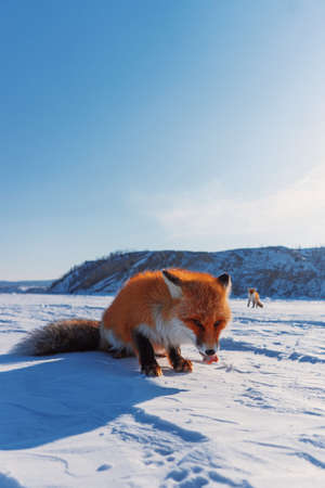 A beautiful red fox walks through the snow at Lake Baikal. The fox is eating raw meat on the lake.