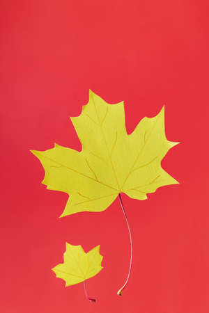 yellow autumn maple paper leaves on red concept