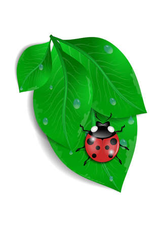 waterdrops: Illustration of green leaves bunch with ladybird and waterdrops isolated Illustration