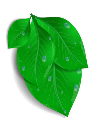 Illustration of green leaves bunch with waterdrops isolated Illustration