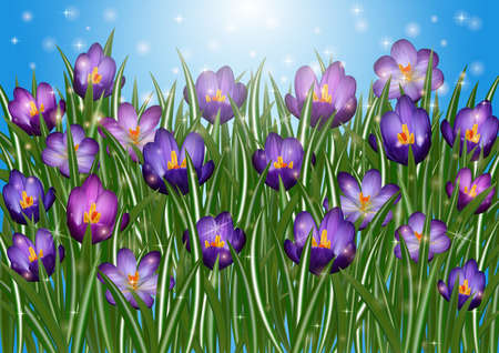 crocus: Illustration of purple crocus flowers with sky background  Illustration