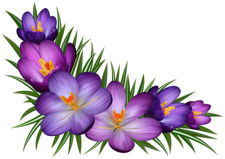 stamens: Illustration of floral corner with purple crocus flowers and leaves isolated