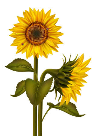Illustration of sunflower bouquet with dew and ladybirds isolated