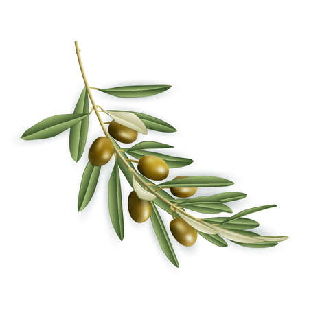 Illustration of realistic olive tree branch isolated Stock Illustratie