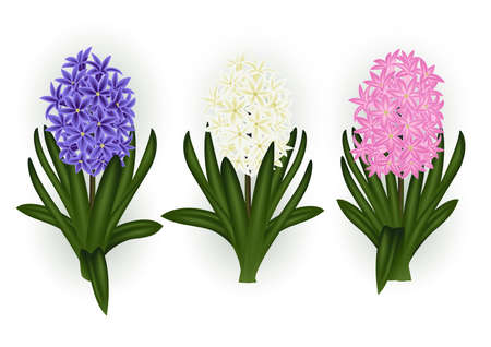Illustration of colorful hyacinth flowers and leaves isolated Stock Illustratie