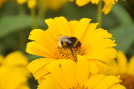 shaggy: Shaggy bumblebee sits on a yellow flower Stock Photo