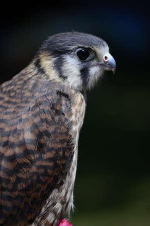 Close up of a peregrine falcon Stock Photo