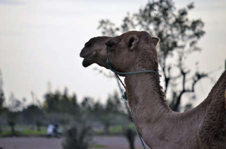 Dromedaries in Marrakech. Morocco Stock Photo