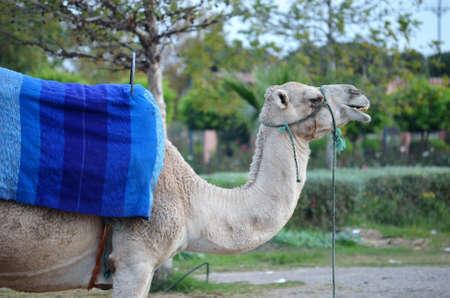 Dromedaries in Marrakech. Morocco Stock Photo
