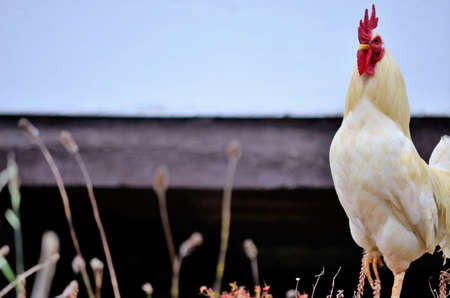 Rooster on the farm Imagens