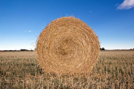 textura: alpaca in a harvested field. Stock Photo