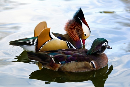 Mandarin duck couple photo