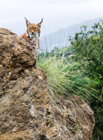 lince: Un lince que acecha detrás de una roca