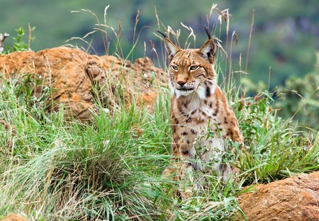 Eurasian lynx in the mountain photo