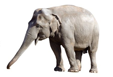 Asian elephant male isolated in white background