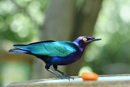 fruit eater: Emerald Starling in a eater artificial Stock Photo