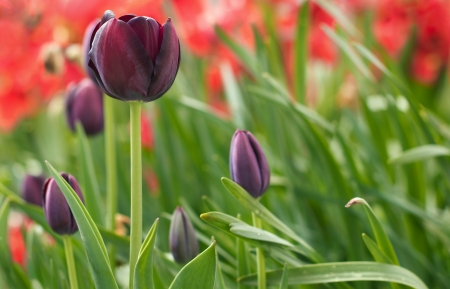 Set of purple tulips in background of red tulips photo