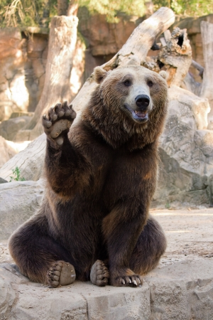 animales del zoo: Amable oso marrón sentado y agitando una pata en el zoológico