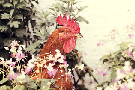 picture of a chicken on the farm with retro vintage effect photo