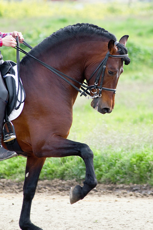 close-up lateral of an andalusian horse training  PRE  photo